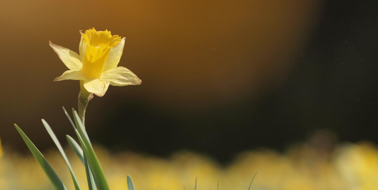 Liljer nævnes i både Det Gamle og Det Nye Testamente, men lige præcis påskeliljen optræder ikke i Bibelen. Påskeliljens centrale rolle i den danske påske kan vi takke N.F.S. Grundtvig for. Foto: Pixabay.