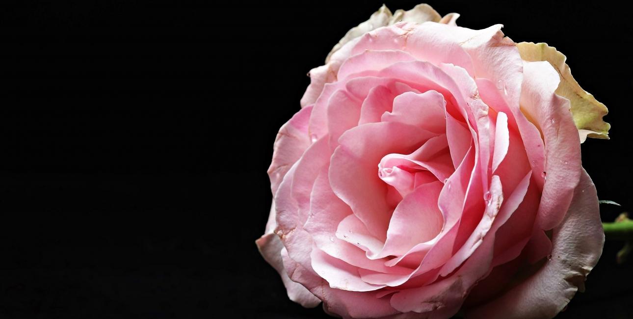 Valentin Rose