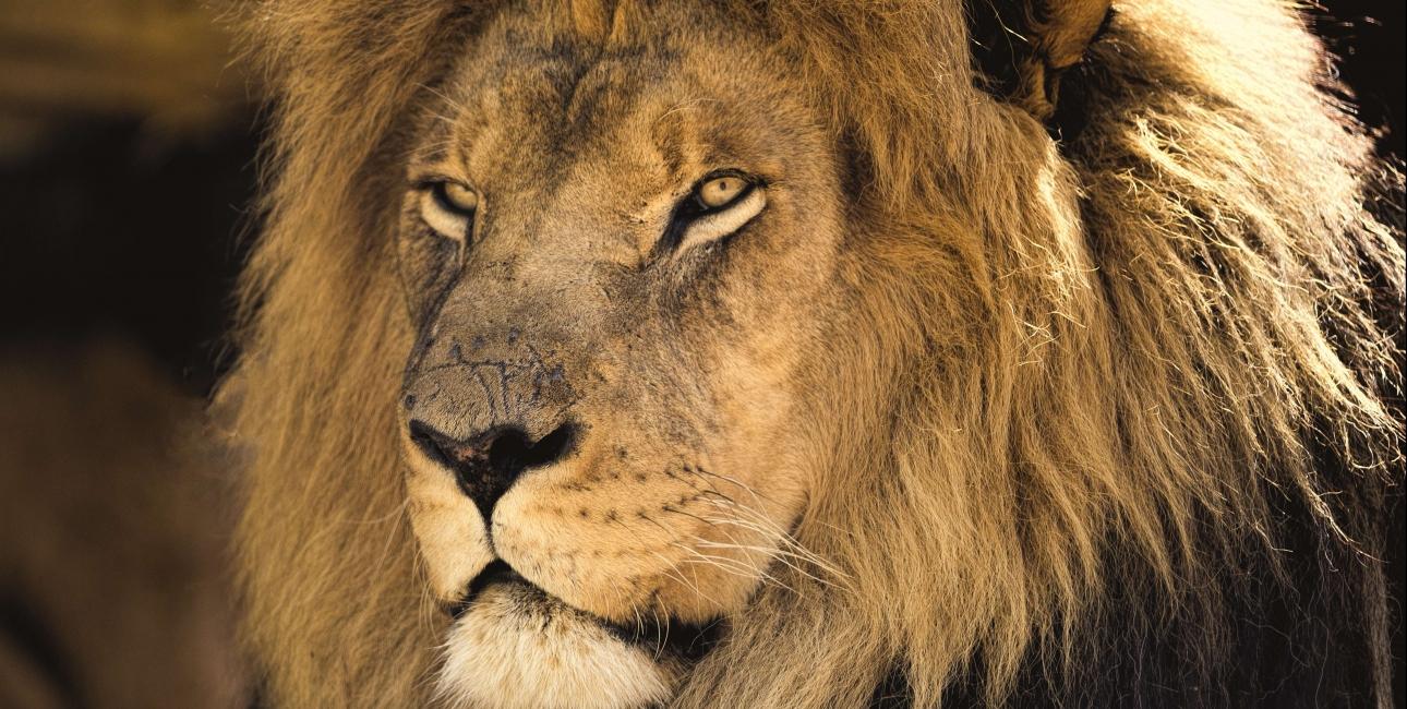 Løven Aslan i Narnia-romanerne er en tydelig parallel til Kristus.Foto: Pixabay.