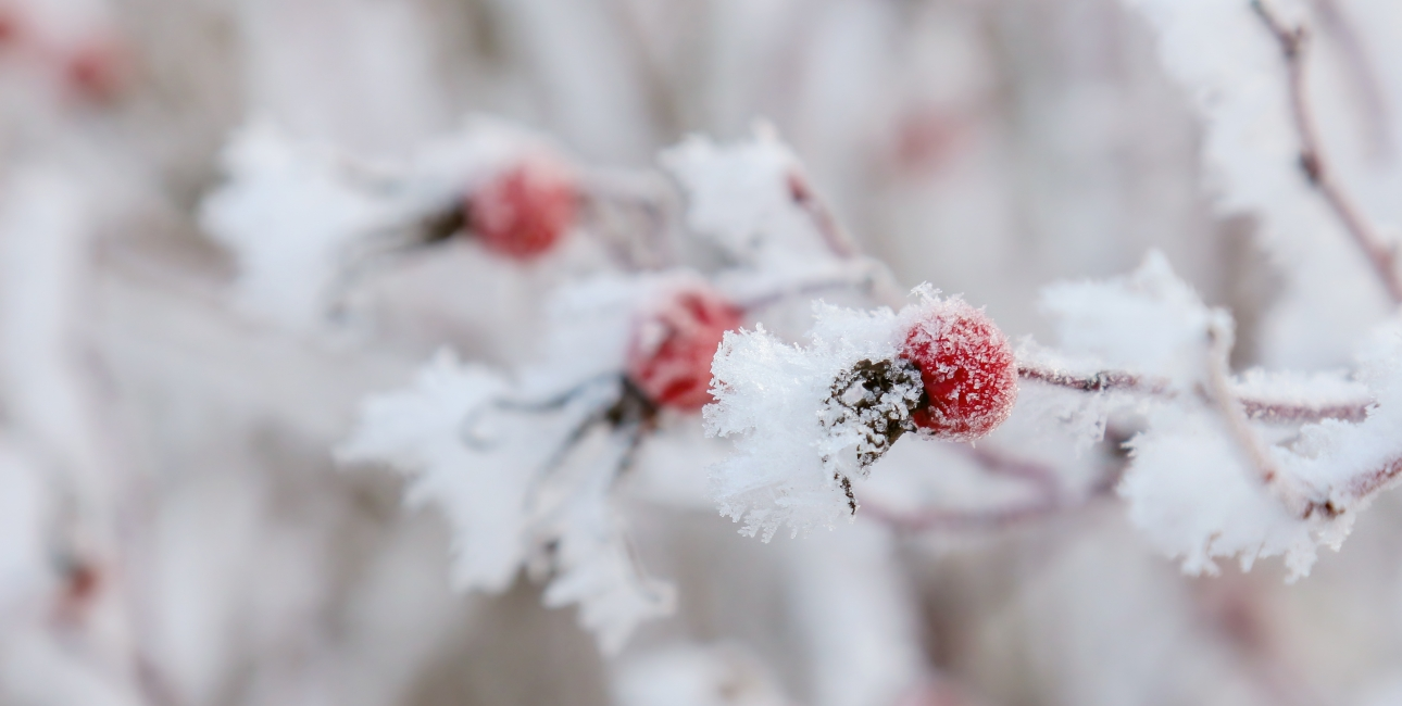Vinterbær. Foto: Colourbox.
