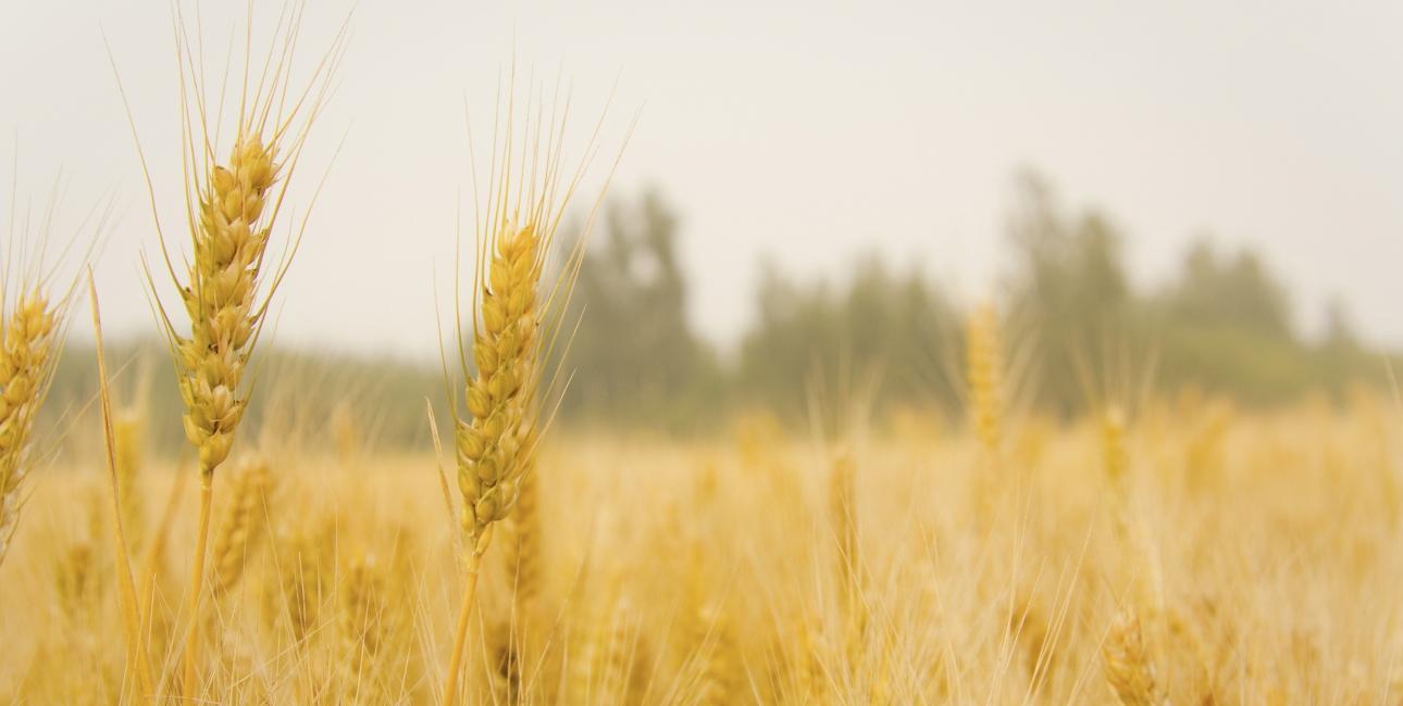 Høst har en stor plads i Bibelen og i kirken. Den maner til taknemmelighed for Guds omsorg og skaberværk og til ansvar og næstekærlighed. Foto: Pixabay.