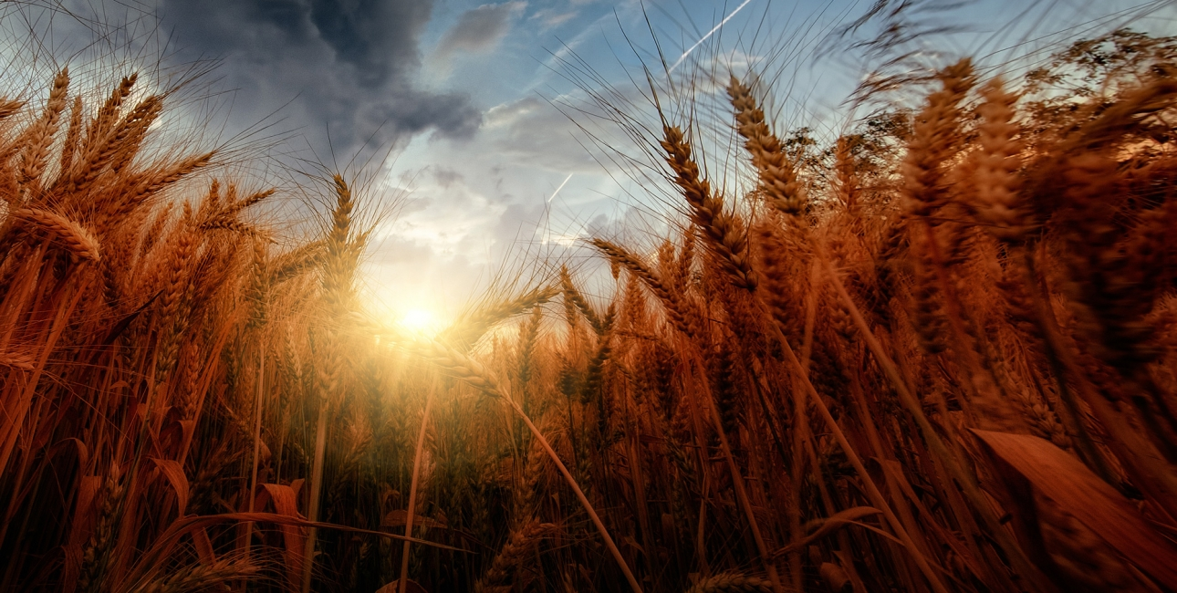 Kornmark i sol. Foto: Unsplash.