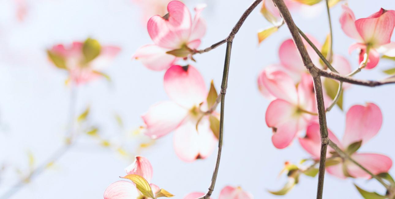 Kirsebærblomster. Foto: Unsplash.