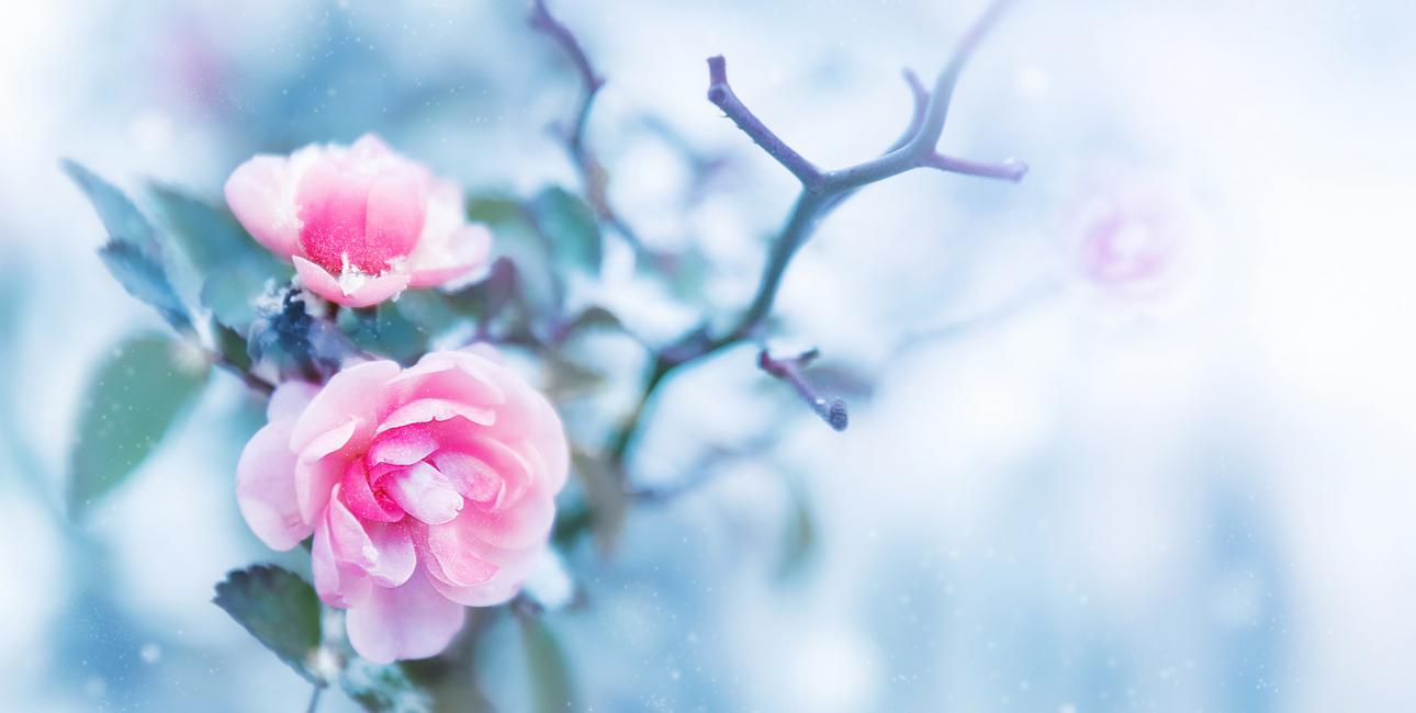 Rose, vinter. Foto: Shutterstock.