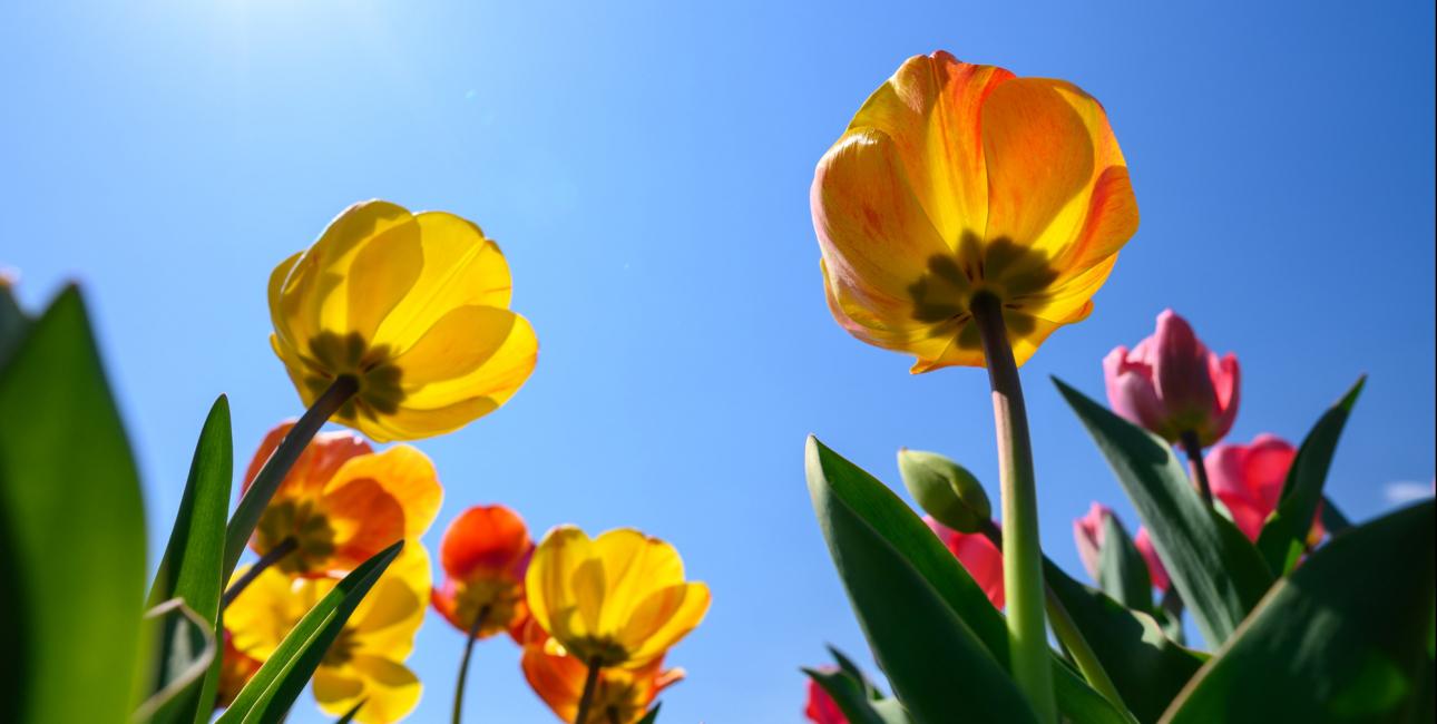 Tulipaner - himmel. Foto: Unsplash.